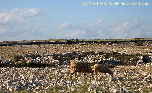 Ovce byly ve velkých skupinách, jednotlivě anebo takto ve dvojicích